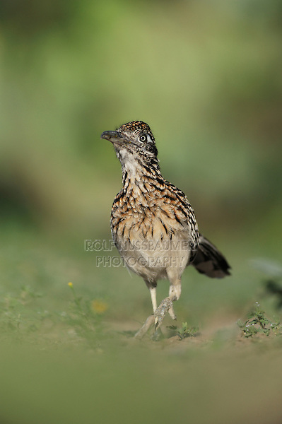 Greater Roadrunner (Geococcyx californianus), adult running, Laredo, Webb County, South Texas, USA