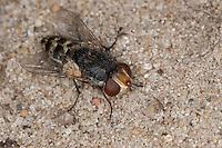 Satellitenfliege, Satelliten-Fliege, Fleischfliege, Miltogramma spec., Parasit bei Wildbienen, miltogrammine fly, Fleischfliegen, Sarcophagidae