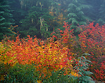 Willamette National Forest, OR: Vine Maple's (Acer circinatum) fall color brightens the understory of a foggy fir-hemlock forest in the Cascade Mountain Range