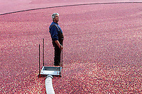 DONALD BLAKELY looks up from inside a flooded cranberry blog after getting the mouth of the cranberry pump into position during cranberry harvesting season.