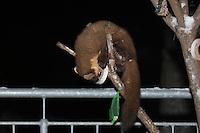 Baummarder nachts auf Balkon am Vogelfutter, frisst Fettfutter aus Meisenring, Baum-Marder, Edelmarder, Edel-Marder, Marder, Martes martes, European pine marten