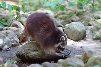 Waschbär, Wasch-Bär, Procyon lotor, Raccoon, Raton laveur