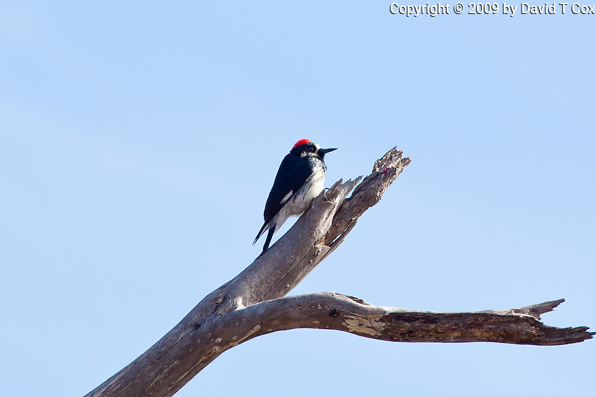 Acorn Woodpecker, Durango, Mexico