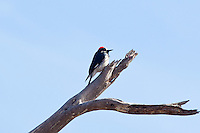 Acorn Woodpecker, Durango, Mexico