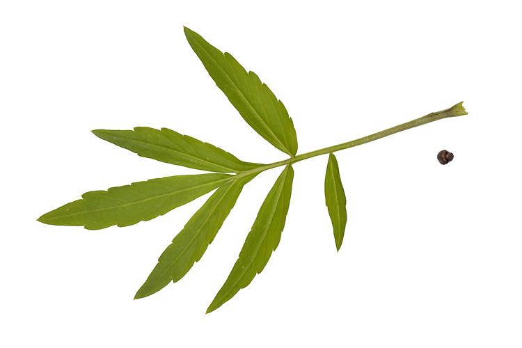 Coralroot Bittercress - Cardamine bulbifera - leaf and bulbil