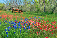Wildflowers on the Farm - We love these colorful wildflowers of bluebonnets, and indian paintbrush in this field with an old rusty tractor in the Texas Hill Country. The wildflowers were everywhere this year as the hill country had a boundiful spring wildflower flowers season. Unflortunelity the next year the owner of this tractor removed it and roped off the property and put a winebago in this spot to prevent people from taking photos.