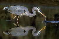 548109041 a wild adult great blue heron ardea heroides feeds in a small pond in the rio grande valley of south texas