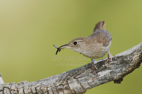 House Wren,Troglodytes aedon,adult with prey,Rocky Mountain National Park, Colorado, USA, June 2007