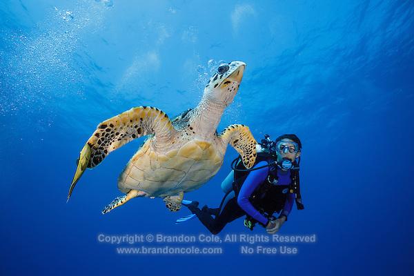 TR4408-D. Hawksbill Sea Turtle (Eretmochelys imbricata) swims alongside scuba diver (model released). Cayman Islands, Caribbean Sea.<br /> Photo Copyright &copy; Brandon Cole. All rights reserved worldwide.  www.brandoncole.com