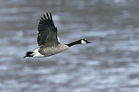 Canada Goose - Branta canadensis