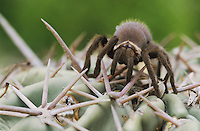 Tarantula, Aphonopelma sp., young on cactus, Starr County, Rio Grande Valley, Texas, USA