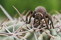 Tarantula, Aphonopelma sp., young on cactus, Starr County, Rio Grande Valley, Texas, USA
