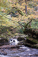 A delicate umbrella of autumn leaves shades the West Beck, near Goathland, the North Yorkshire Moors, England.