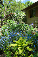 June garden Hosta, forget-me-nots in bloom, perennials, Dicentra, house, trees, blue sky