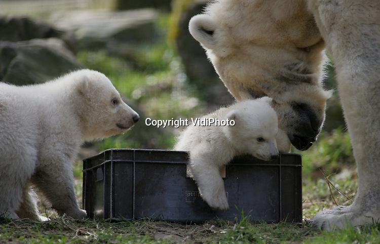 Foto: VidiPhoto..RHENEN - In Ouwehands' Dierenpark in Rhenen mocht dinsdag de ijsbeertweeling, die in december geboren werd, voor het eerst naar buiten. De diertjes hebben via een prijsvraag de namen Walker en Swimmer gekregen. Moeder is Huggies, die nu voor de tweede keer en nest jongen heeft gekregen in Ouwehands. IJsberen staan op de lijst van zeer bedreigde diersoorten. Ouwehands' heeft nu zes ijsberen.