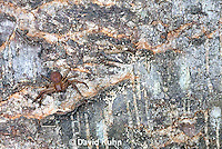 0520-1112  Ground Crab Spider, Camouflaged on Bark, Xysticus funestus  © David Kuhn/Dwight Kuhn Photography