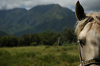 Horse on the island of Kauai, Hawaii.