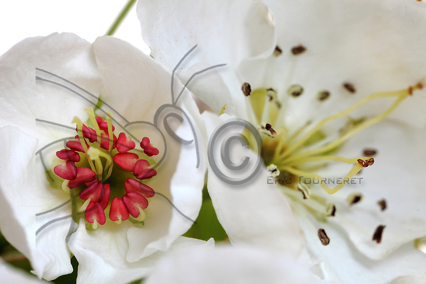 Deux fleurs et deux étapes de maturité. Sur les étamines, les sacs à pollen avec au centre le pistil avec plusieurs carpelles.///Two flowers and two stages of maturity. Stamens: sacks of pollen with, in the centre, the pistil with several carpels.