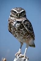 BURROWING OWL<br /> This diurnal owl occupies abandoned rodent burrows.