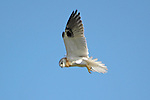 Accipter fasciatus - Brown Goshawk