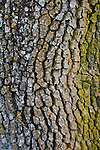 Detail of lichen growing on Oak Tree trunk bark, Henry Coe State Park, California