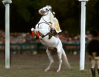 A Lipizzaner stallion with rider performs during an outdoor performance. horses, equine, animals. #545 Lippizan rearing.