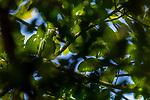 Red-lored Parrot<br /> (Amazona autumnalis), Mamoni Valley, Panama