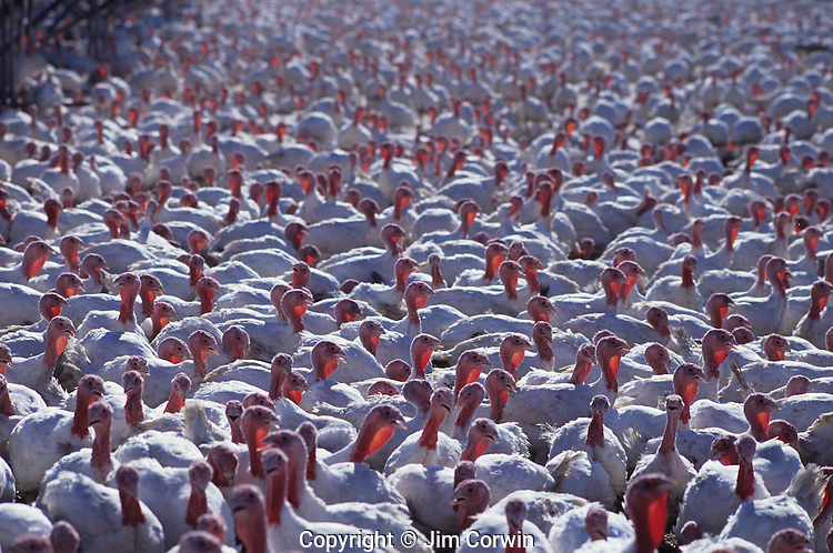 Poultry farm with turkeys near McMinnville, Yamhill County Oregon State USA
