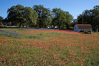 Colorfull field of Bluebonnets and Indian Paint Brush surround a barn