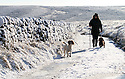 05/12/12 ..As the big freeze spreads across the country, two very excited springer spaniels leap for joy as they go for a walk in the first snowfall of winter near Flash, in The Peak District near Leek, Staffordshire...All Rights Reserved - F Stop Press.  www.fstoppress.com. Tel: +44 (0)1335 300098.