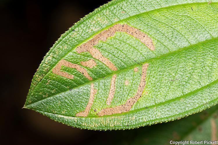 Leaf Mining Insect, moth species, on leaf, Sinharaja World Heritage Site, Sri Lanka,
