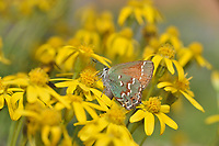 Juniper Hairstreak (Callophrys gryneus), Hill Country, Texas, USA