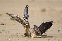 Immature Lanner falcons fighting.<br />