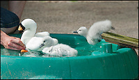 BNPS.co.uk (01202 558833)<br /> Pic: PhilYeomans/BNPS<br /> <br /> Despite going under the chicks soon bob up again.<br /> <br /> Incubator hatched cygnets learn how to swim...<br /> <br /> A pair of baby cygnets hatched in an incubator had their first swimming lesson at the Birdland animal park in Bourton on the water yesterday.<br /> <br /> Unlike in the wild these chicks had never seen water before and keeper Chris Abbey had to coax them in to a special pool using a decoy soft toy to replicate their parents.<br /> <br /> The park decided to hatch the egg's in an incubator after losing a previous clutch, and now have to teach the cygnets some basic skills before reintroducing them to their group in the park.<br /> <br /> The chicks learnt very quickly even jumping on the back of the soft toy as they would their mothers in the wild.