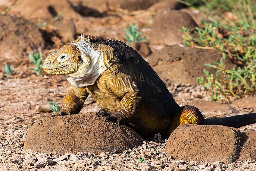 Land Iguana<br /> Galapagos Islands