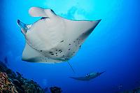 reef manta ray, Manta alfredi, Manta Point, Gan, Maradhoo, Addu Atoll, Maldives, Laccadive Sea or Lakshadweep Sea, Indian Ocean