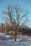 Bur Oak in winter