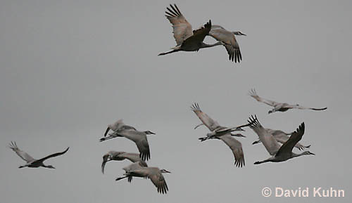 0102-1018  Flock of Sandhill Cranes in Flight, Grus canadensis  © David Kuhn/Dwight Kuhn Photography
