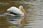 White Pelican, American White Pelican, Sepulveda Wildlife Refuge, Southern California