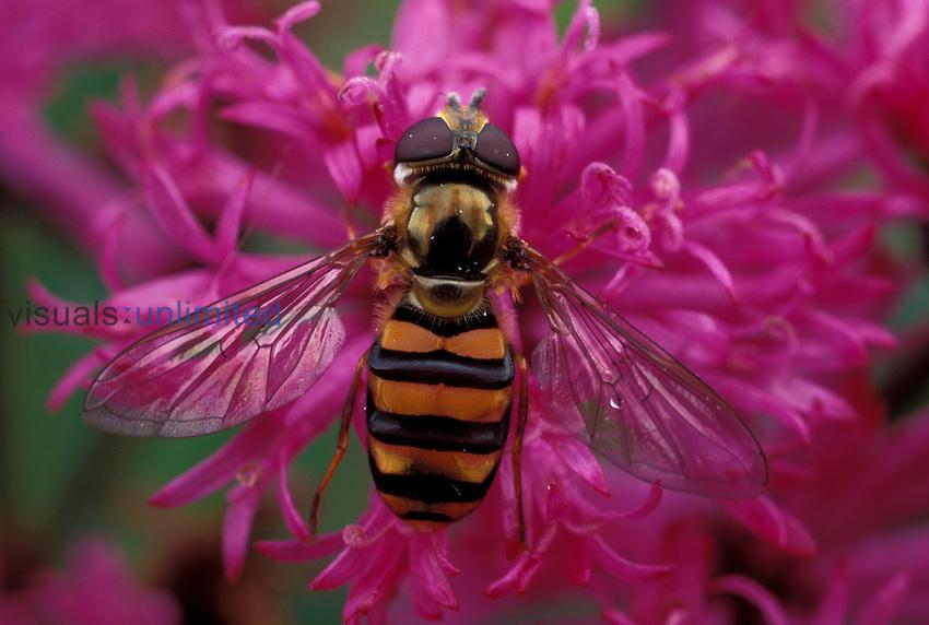 Hover Fly ,Didea fuscipes,, Ohio.