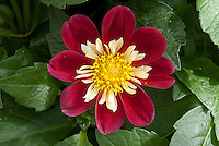 Dahlia 'Dahlietta Surprise Jacky', semi-double dwarf type, red and cream.