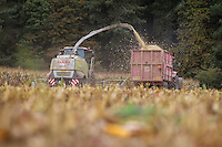 Harvesting forage miaze for diary with a Claas Jaguar 960 forager - October, Norfolk