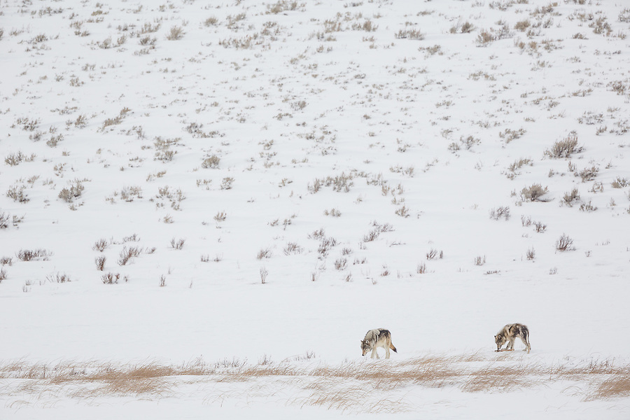 One gray wolf sniffs the ground searching for food while the other prods the leg from an elk carcass in the snow in Yellowstone National Park, Wyoming.