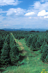 Quebec - Tree Farm