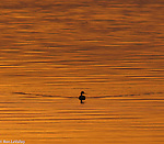 Loons and Grebes