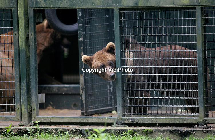 Foto: VidiPhoto..RHENEN - De drie Georgische beren die door de berenstichting Alertis van de dood zijn gered en eind april naar Nederland werden getransporteerd, hebben donderdag voor het eerst van hun leven van een stukje vrijheid mogen proeven. De drie, Duuk, Diesel en Igor, werden losgelaten in het Berenbos van Ouwehands Dierenpark in Rhenen. De dieren hadden nog nooit eerder gras en zand gevoeld. Omdat de beren wegens sluiting van de dierentuin in het Georgische Rustavi zouden worden afgemaakt, besloot Alertis ze naar het Berenbos te halen. Foto: Igor kijkt voorzichtig om een hoekje.