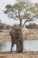 African Elephant at Okaukeujo camp in Etosha, Namibia
