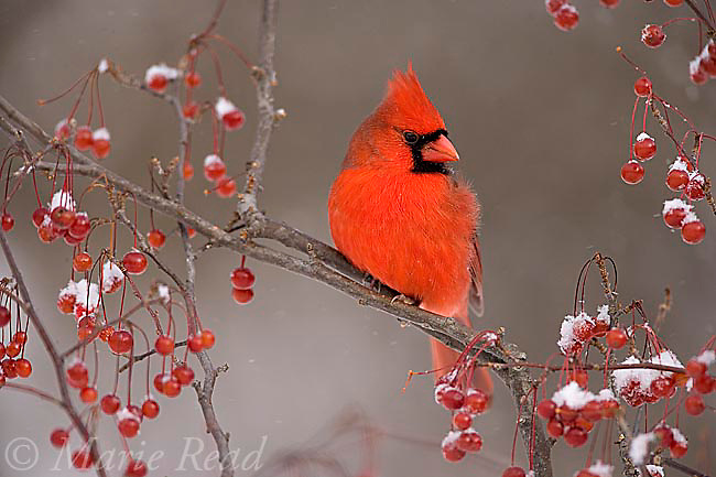 Northern Cardinal (Cardinalis cardinalis) male amid berries in winter, Freeville, New York, USA