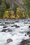 Tumwater Canyon in fall.  Big leaf maple in fall color.  Wenatchee National Forest, Washington State near Leavenworth