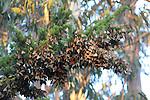Monarch butterflies over-wintering on cypress in Santa Cruz